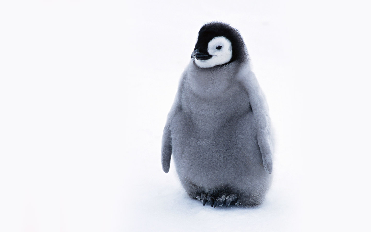cute baby penguins 1861