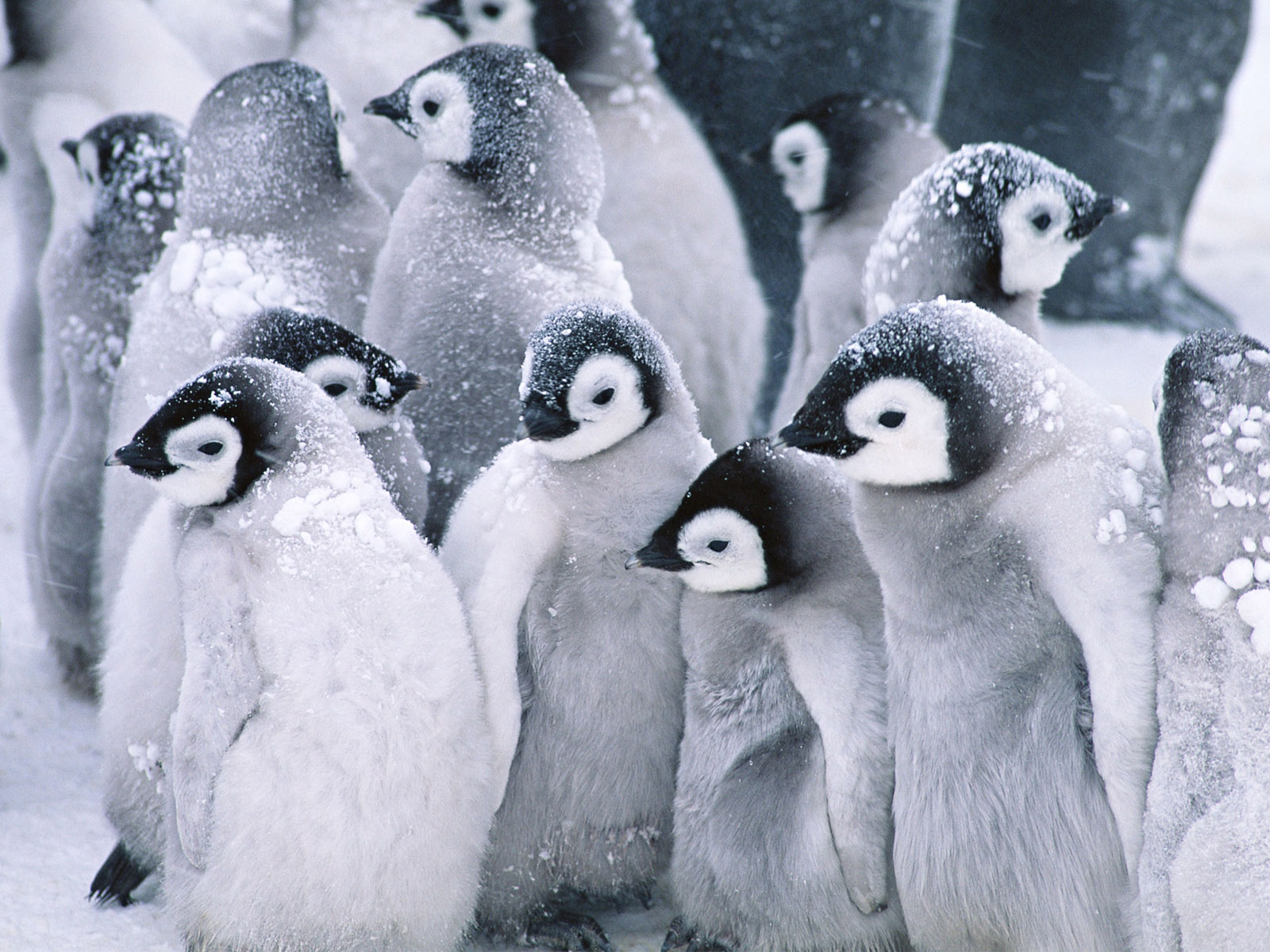 cute baby penguins 1873