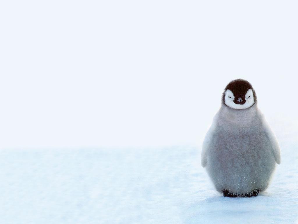 cute baby penguins 1877
