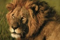 Lion Wallpaper 1754