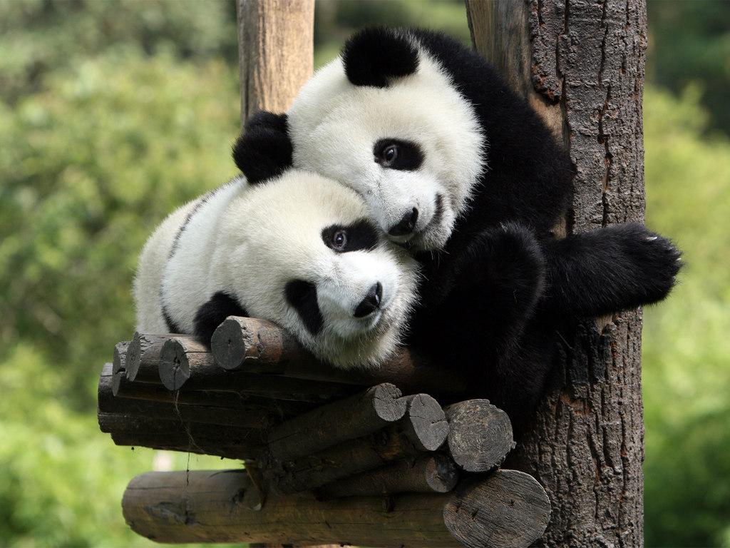 cute baby panda 2239