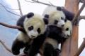 Cute Baby Panda 2254