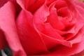 Rose Wallpaper 2320