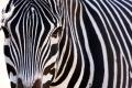 Zebra Wallpaper 2493