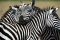 Zebra Wallpaper 2495