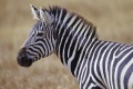 Zebra Wallpaper 2501