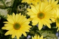Yellow Flower Wallpaper 1092