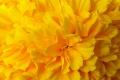 Yellow Flower Wallpaper 1094