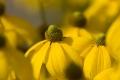 Yellow Flower Wallpaper 1106