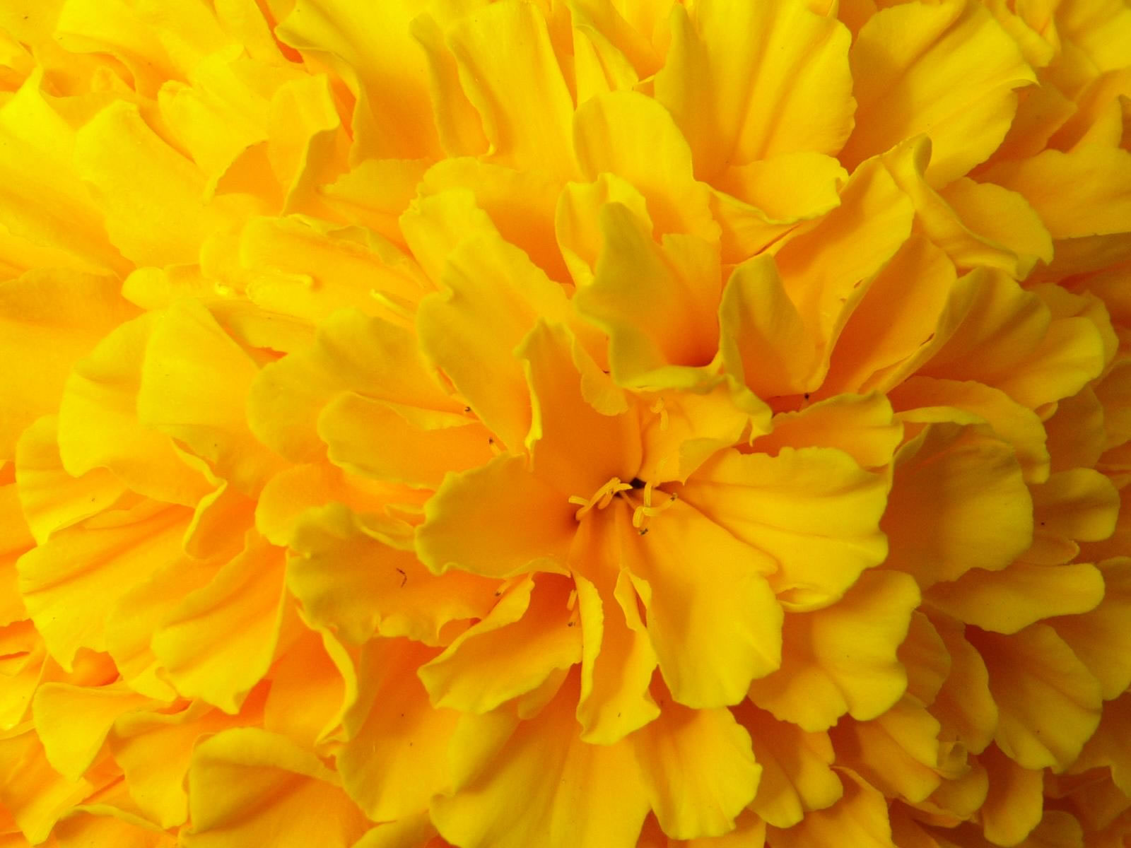 Hd wallpaper yellow flowers - Yellow Flower Wallpaper 1094