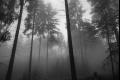 Dark Forest 1295