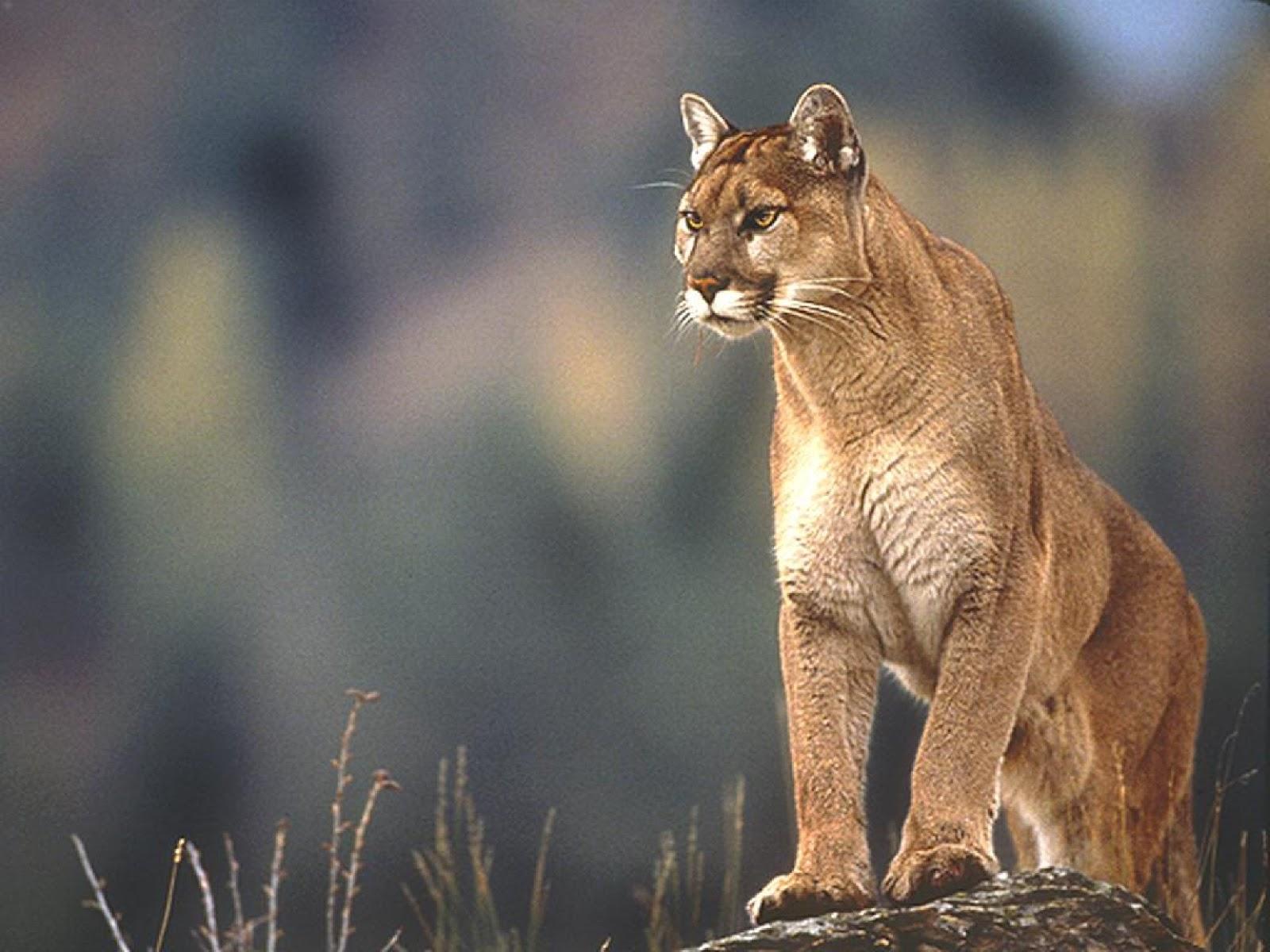 mountain lion wallpaper 2477