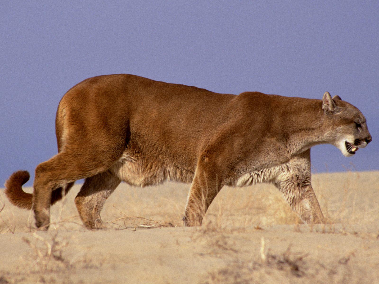 mountain lion wallpaper 2479