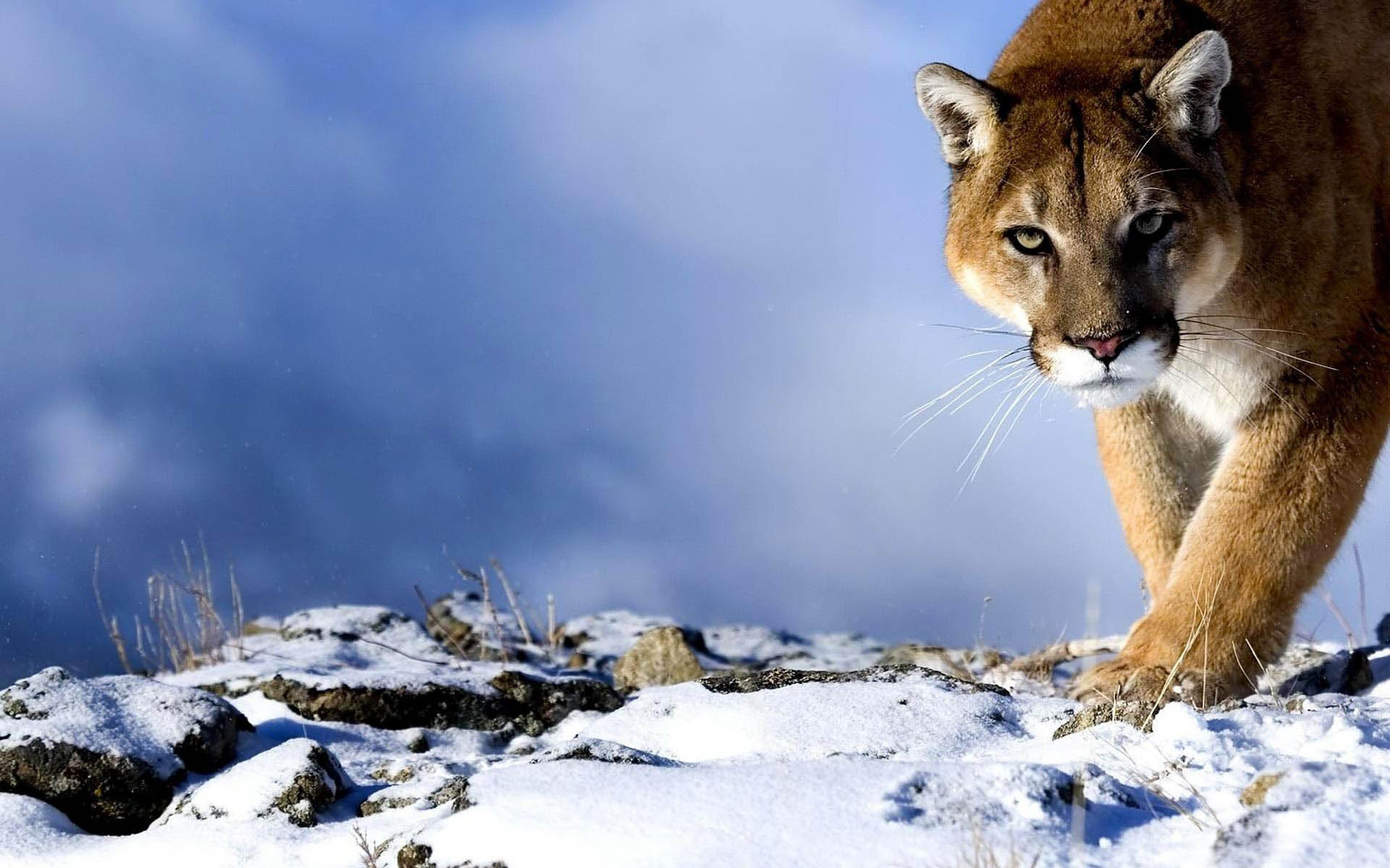 mountain lion wallpaper 2481