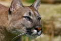 Mountain Lion Wallpaper 2472