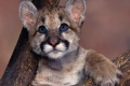 Mountain Lion Wallpaper 2476