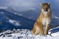 Mountain Lion Wallpaper 2478