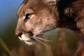 Mountain Lion Wallpaper 2480