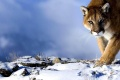 Mountain Lion Wallpaper 2481