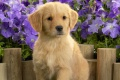 Puppy Wallpaper 312
