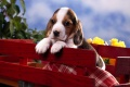 Puppy Wallpaper 314