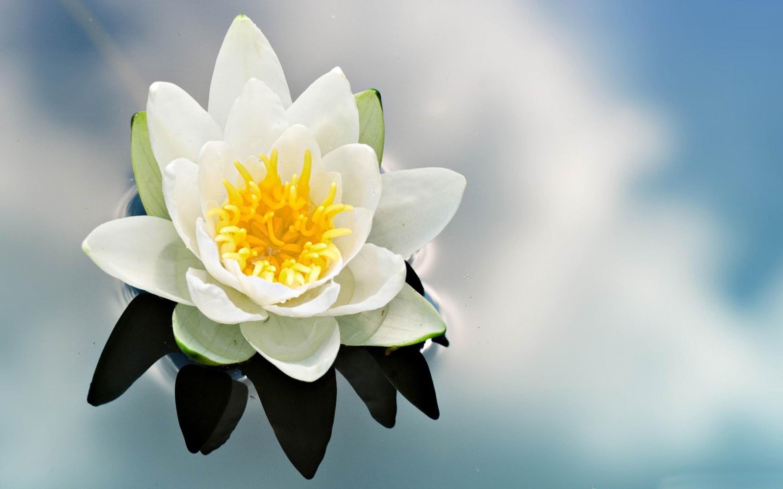 beautiful water flower 37553