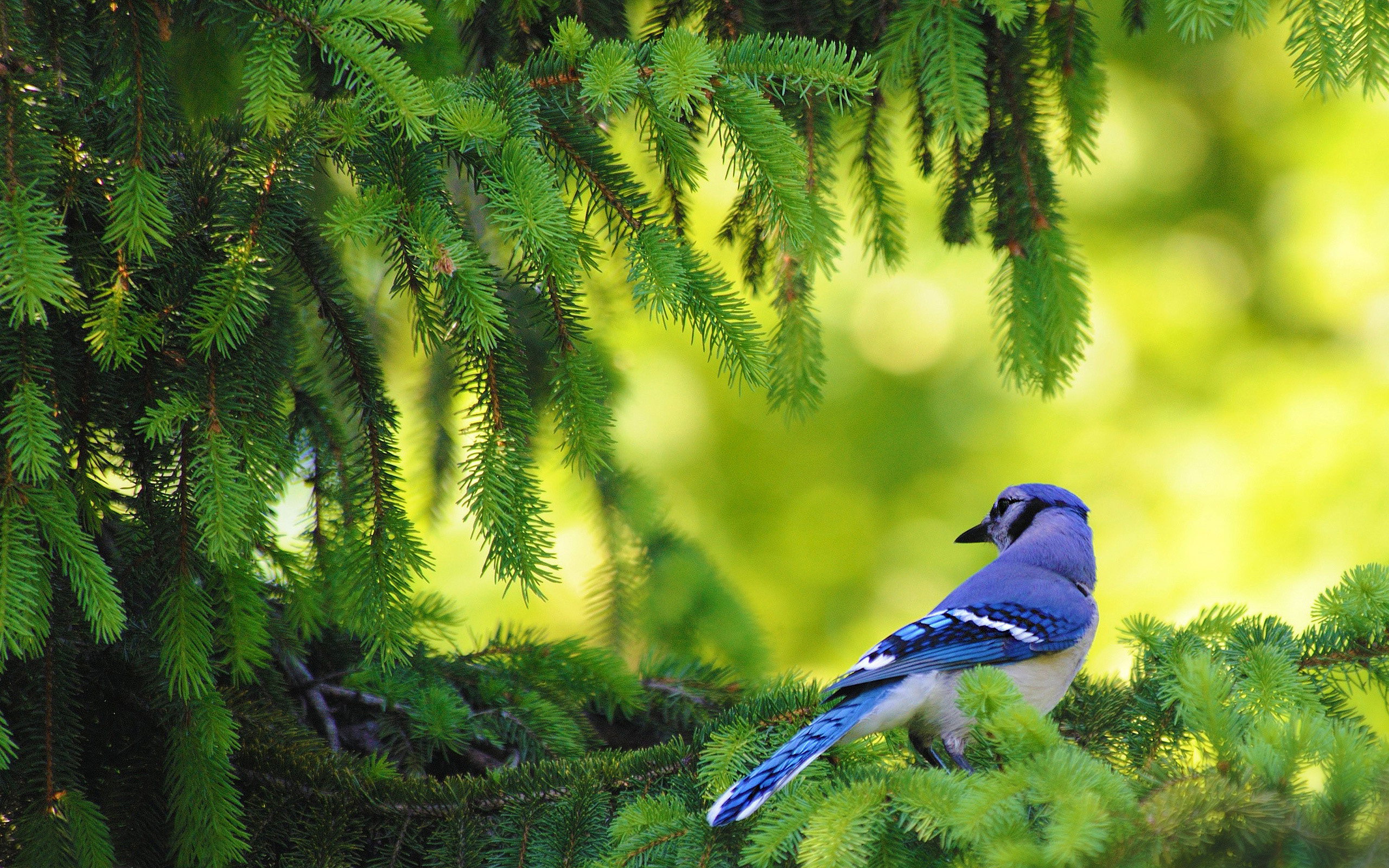 blue bird background 39976
