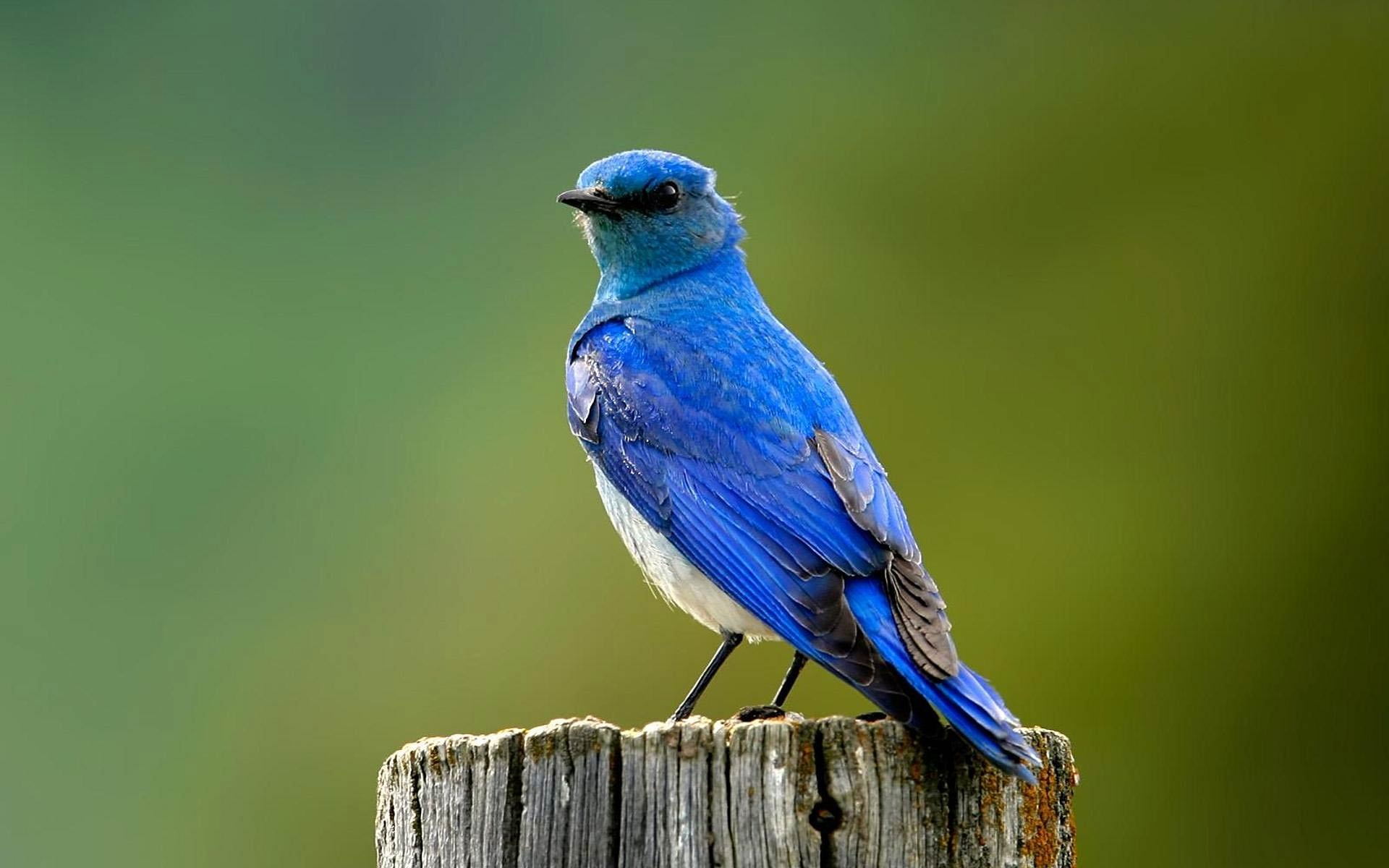 blue bird wallpaper 39978