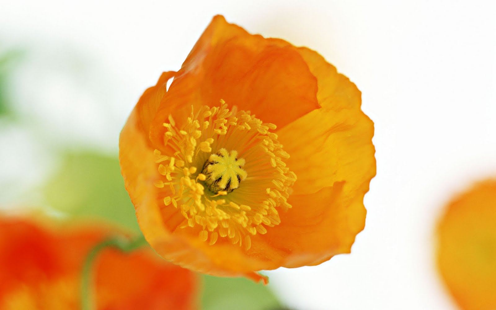 exotic orange flower wallpaper 41130