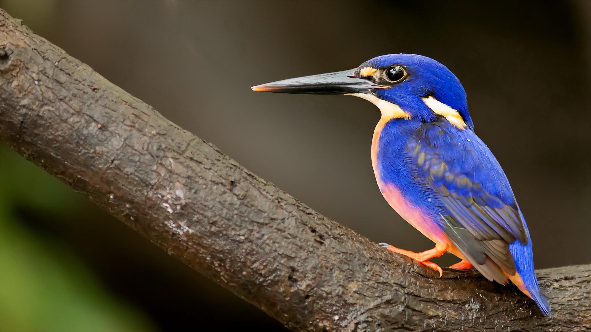 Fantastic Blue Bird Wallpaper 39975 1920x1080 Px