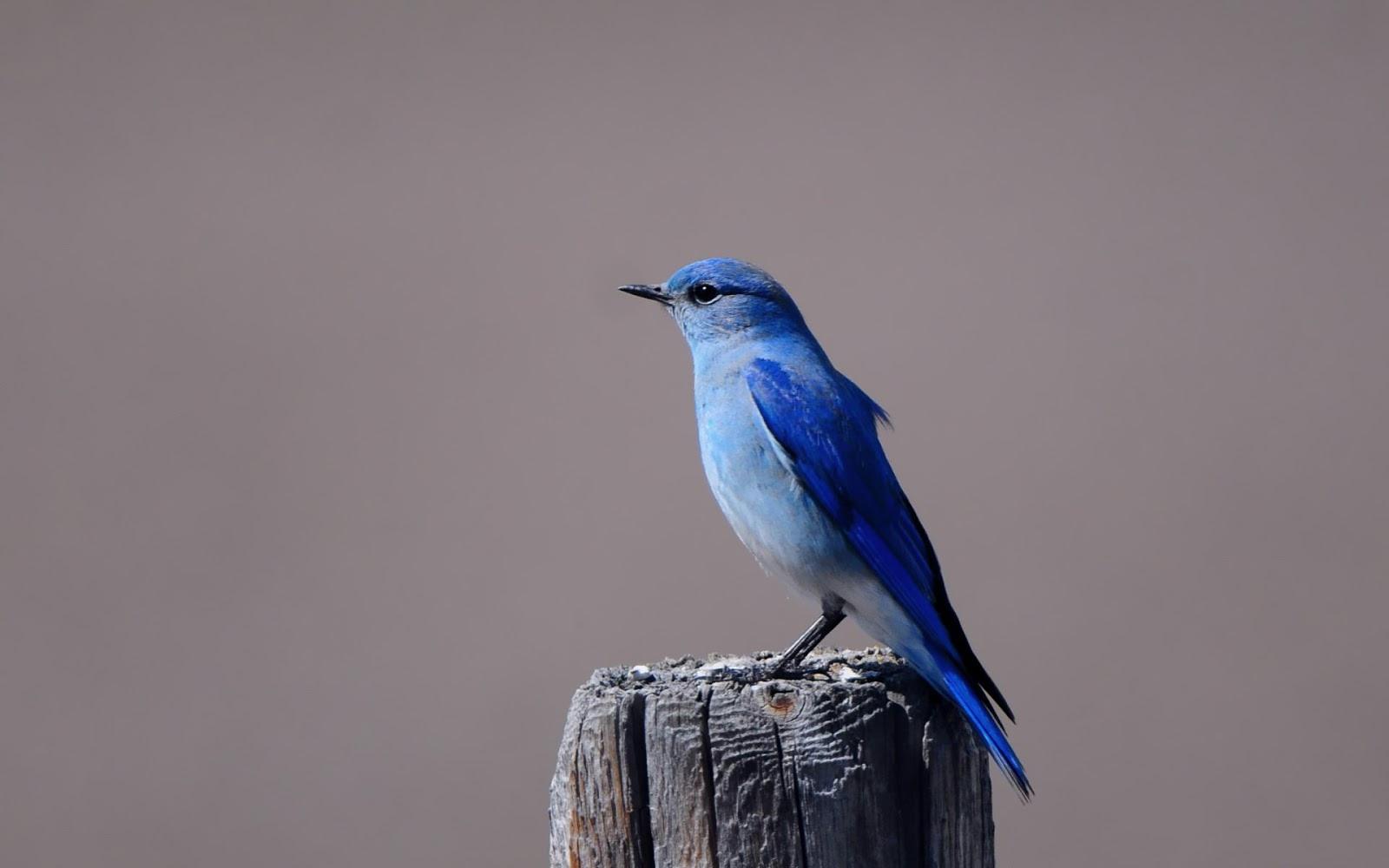 free blue bird wallpaper 39977