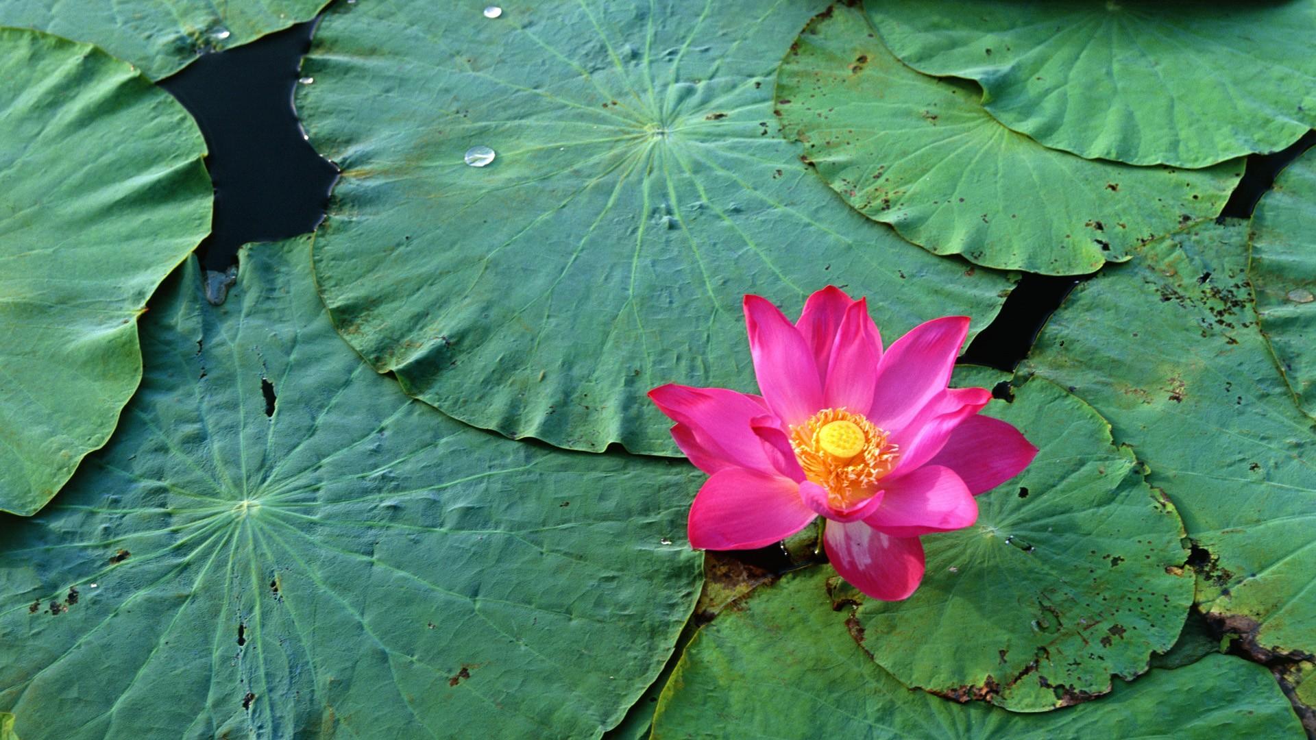 lovely water flower wallpaper 37539