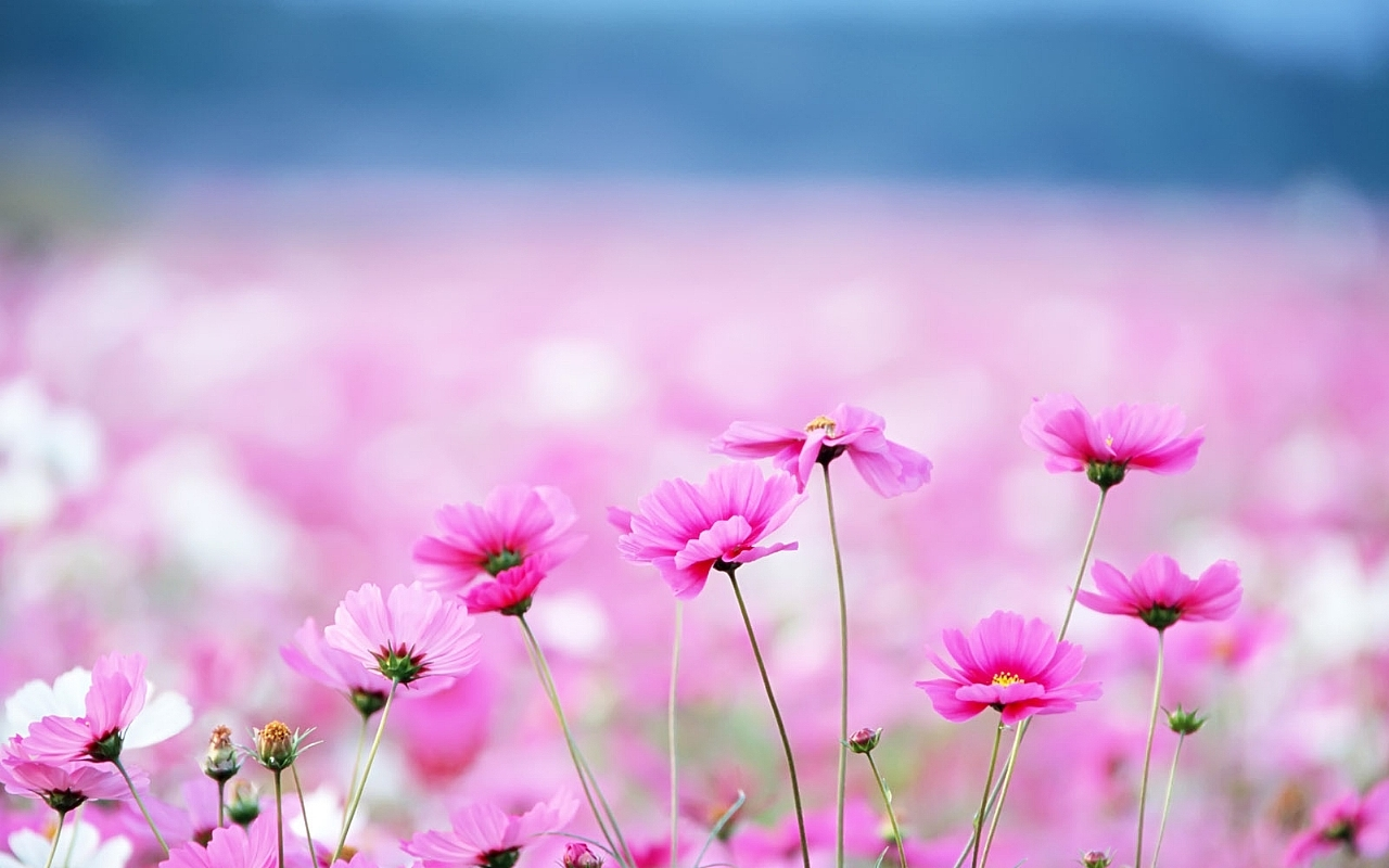 pink flower wallpapers 25396