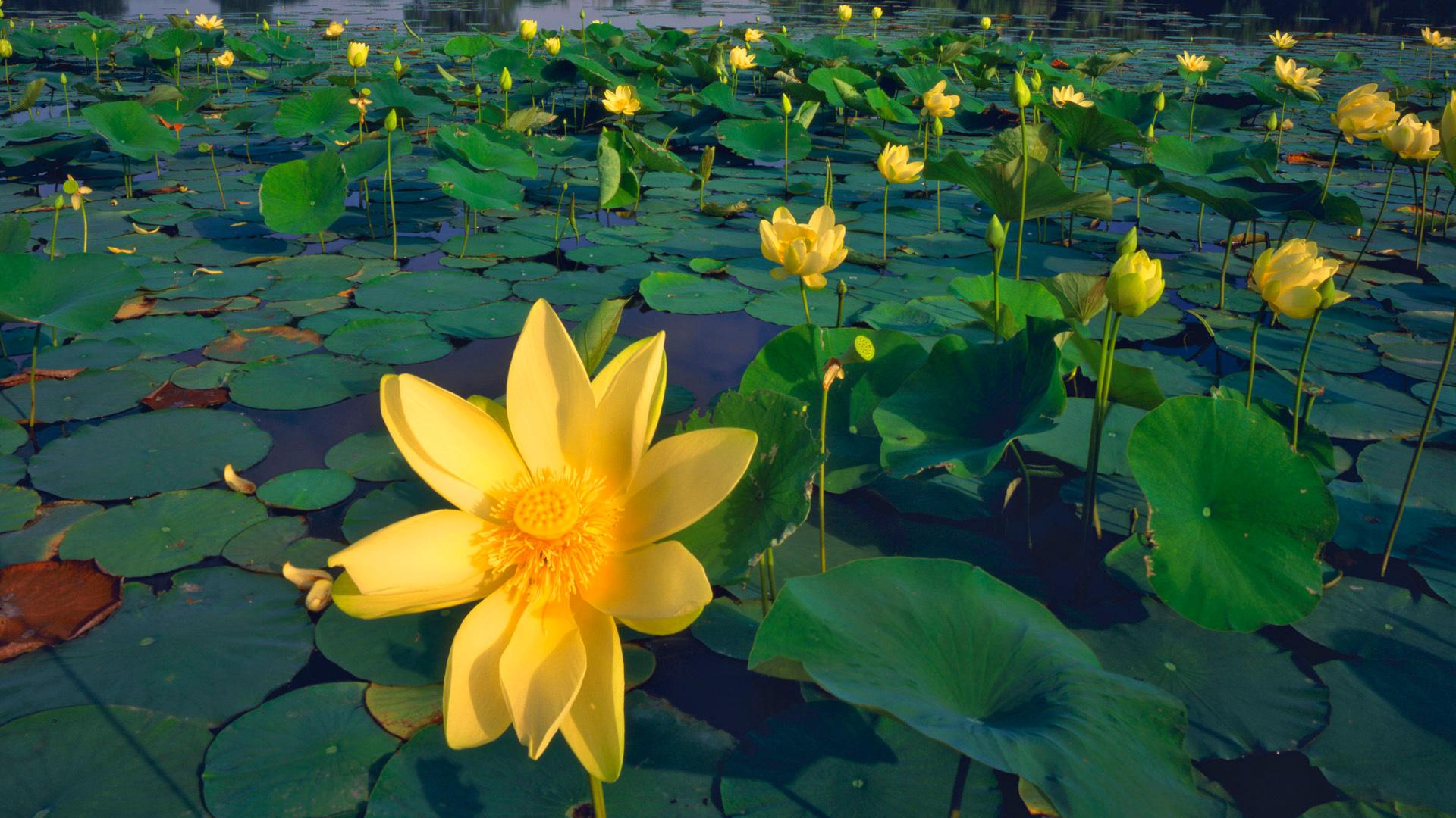 pretty water flower wallpaper 37537