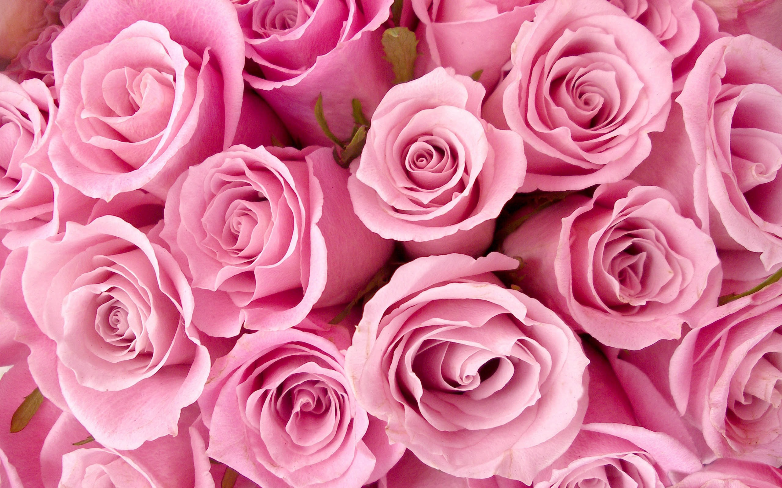 Rose Flower Wallpaper Tumblr 17819 2560x1600px