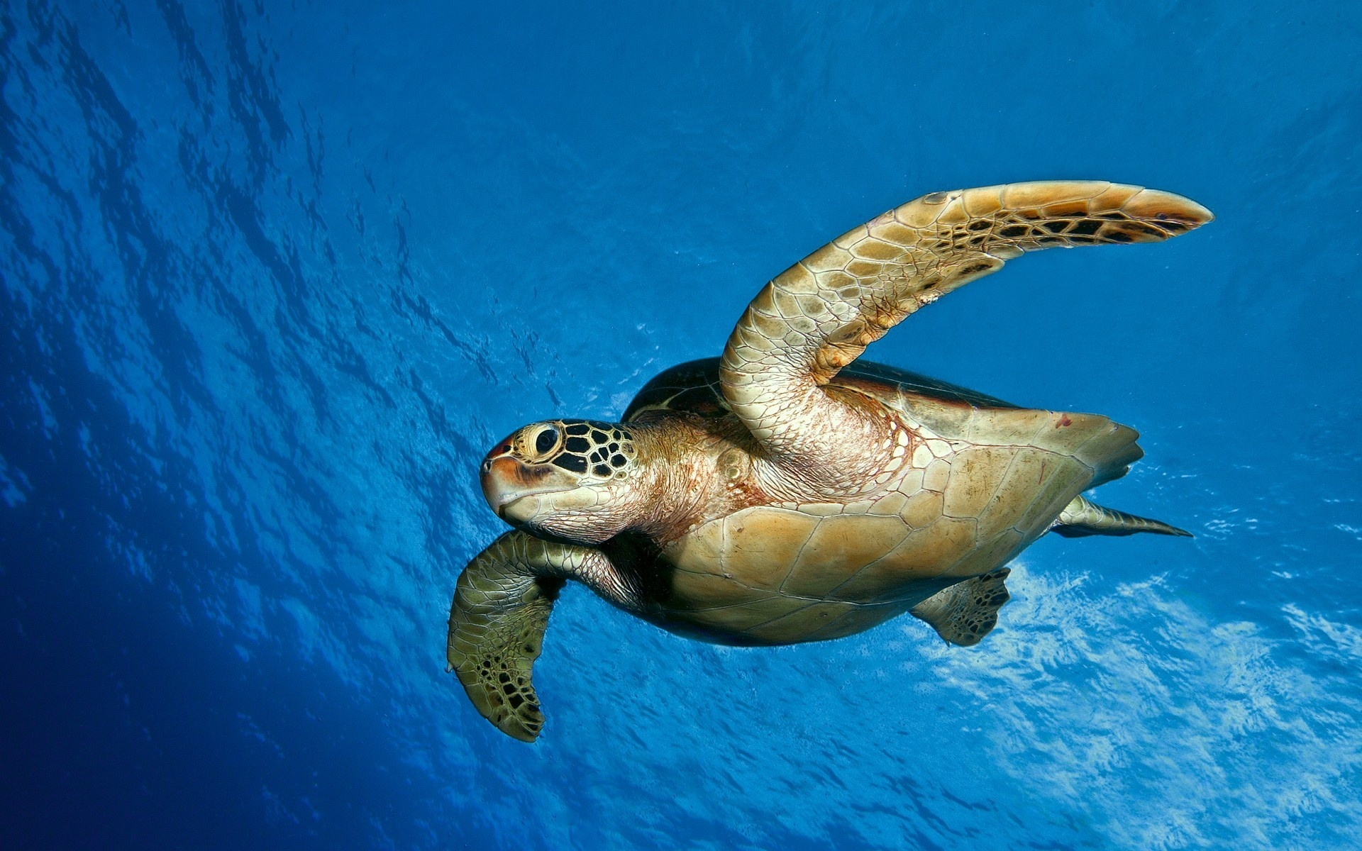 sea turtle wallpaper 4518 1920x1200 px hdwallsource