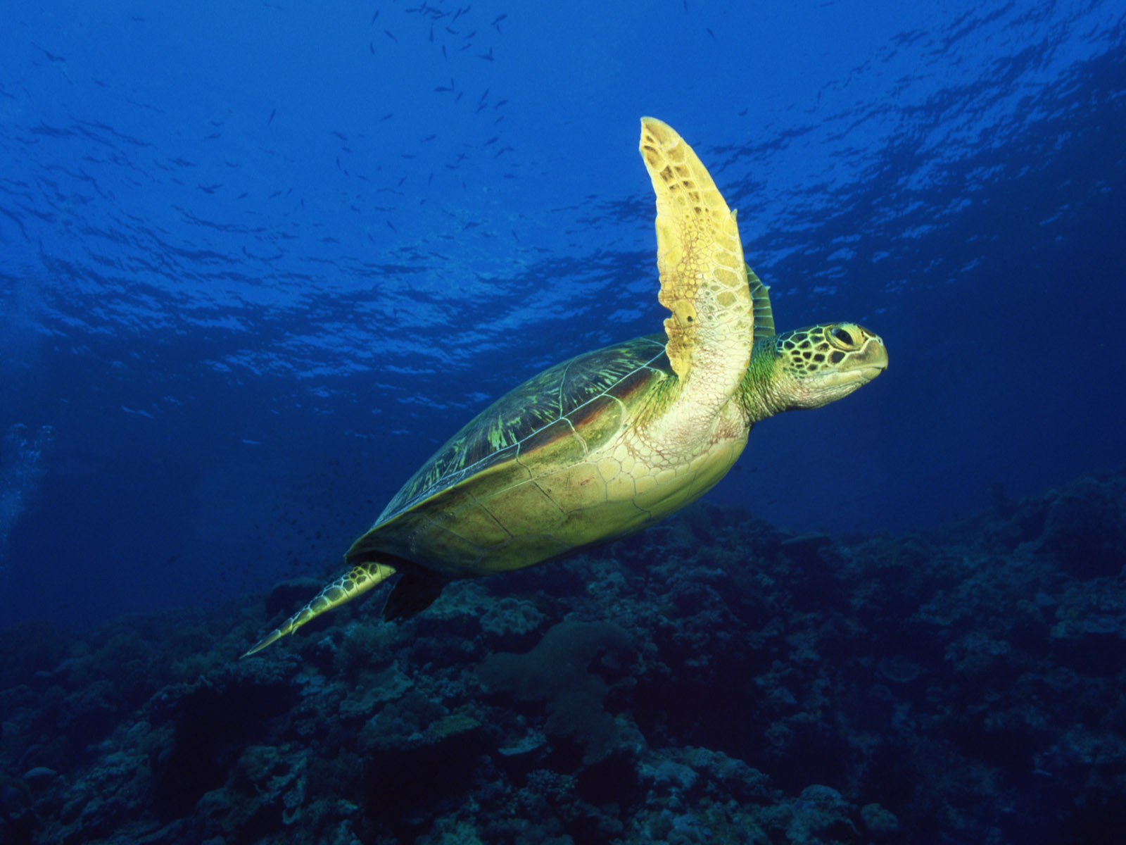 sea turtle wallpaper 4528
