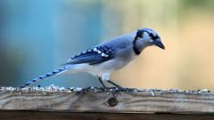 Beautiful Blue Bird Wallpaper 39973
