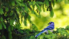 Blue Bird Background 39976