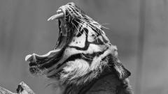 BW Tiger 40408