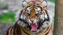 Fierce Tiger Wallpaper 40406