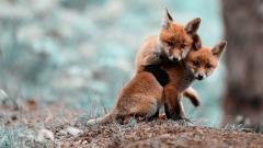 Fox Wallpaper 4208