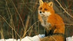 Fox Wallpaper 4209