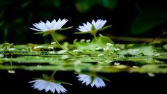Free Water Flower Wallpaper 37552