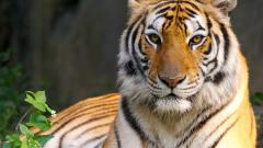 Gorgeous Tiger Wallpaper 40404
