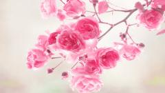 Pink Flower Wallpapers 25390