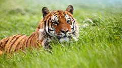 Pretty Tiger Wallpaper 40405