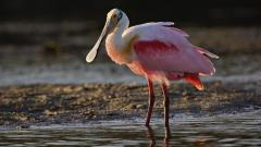 Roseate Spoonbill Wallpaper 39997