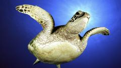Sea Turtle Wallpaper 4512