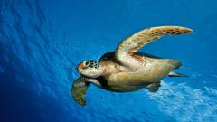 Sea Turtle Wallpaper 4518